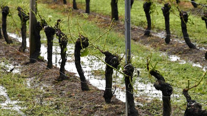 Des vignes sans feuille après le passage d'un violent orage à Macao, près de Bordeaux.
