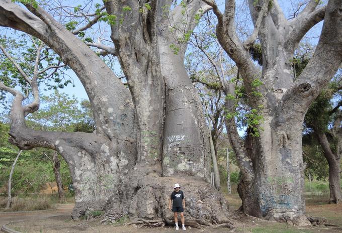 Adrian Patrut devant l'un des baobabs géants qu'il a étudié et daté.