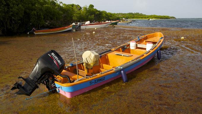 Les algues sargasses envahissaient déjà les côtes de la Martinique en 2011.