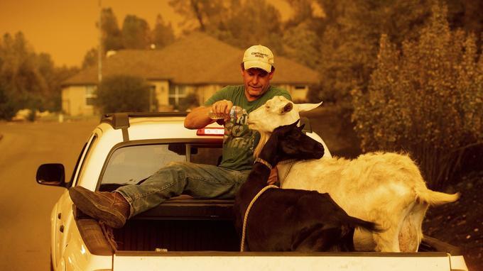 Mark Peterson, qui a perdu sa maison dans le feu «Carr», donne de l'eau aux chèvres qui ont survécu à l'incendie.