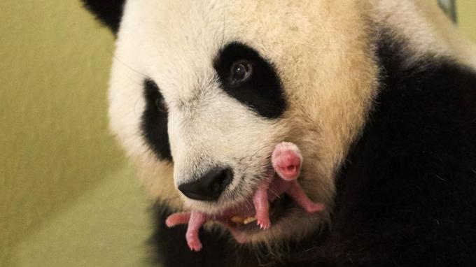 De 142 grammes à la naissance Yuan Meng pèse désormais 30 kg.