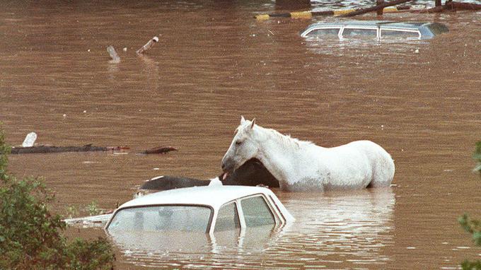 Un cheval pris dans les inondations, le 3 octobre 1988.