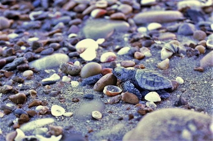 Une bébé tortue se dirige vers la mer après son éclosion sur une plage de l'Hérault au début du mois.