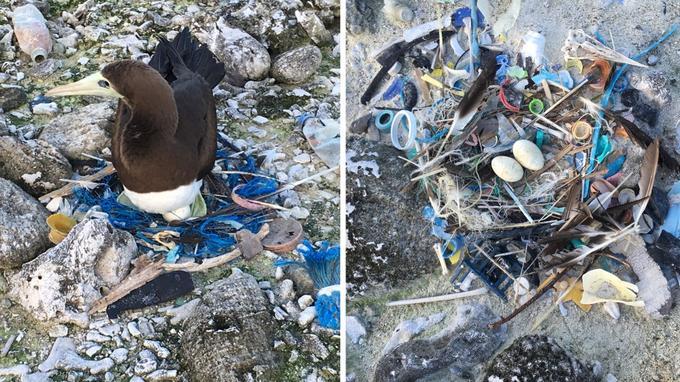 Les oiseaux, fous bruns ou fous masqués, sont contraints de faire leurs nids au milieu et avec les déchets en plastique.