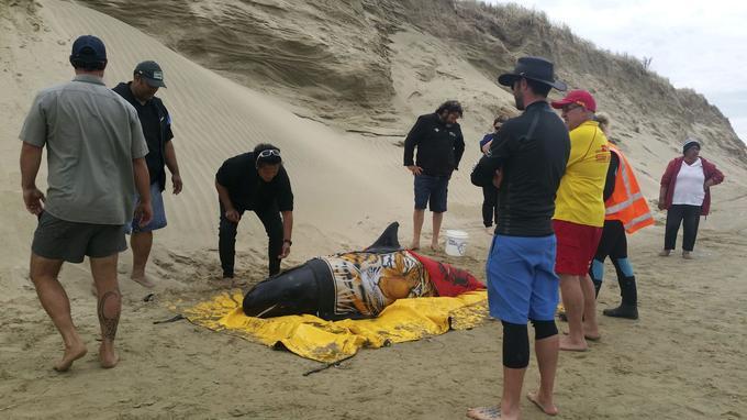 Un orque pygmée est secouru sur une plage de Nouvelle-Zélande