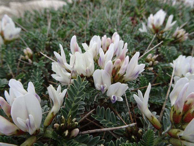 Astragalus tragacantha.