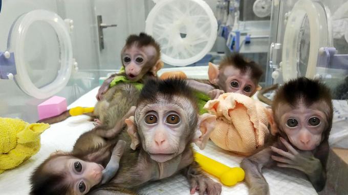 Les cinq bébés macaques clonés ces six derniers mois présentent les mêmes troubles du sommeil que le spécimen «parent» modifié génétiquement.