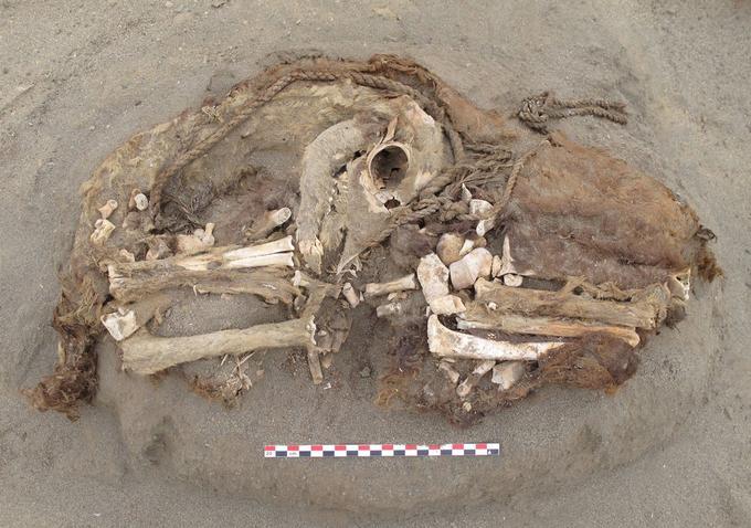 Les restes momifiés d'un camélidé. (Les analyses des animaux ont été financé par l'ANR (projet CAMELANDES), le CNRS, le MNHN (muséum) et l'ANR (Agence Nationale pour la Recherche).