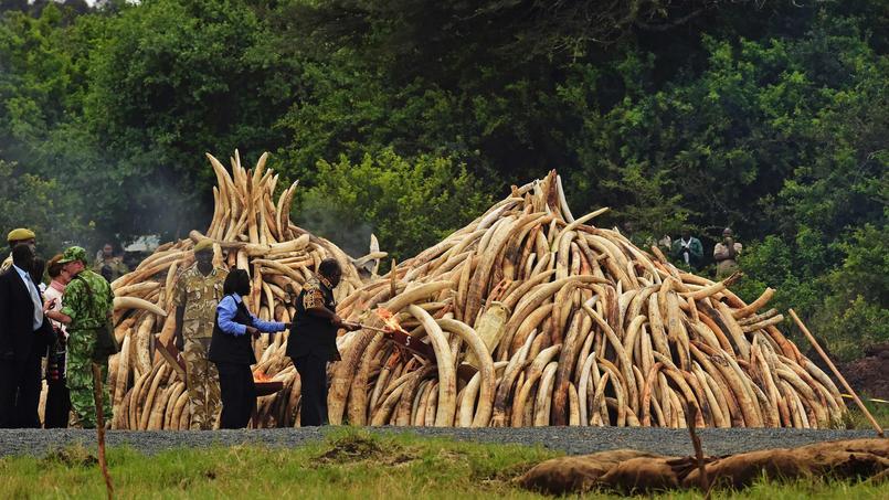 Sous l'oeil du président kenyan Uhuru Kenyatta, le président du Gabon Ali Bongo met le feu à une pyramide de défenses d'éléphants.