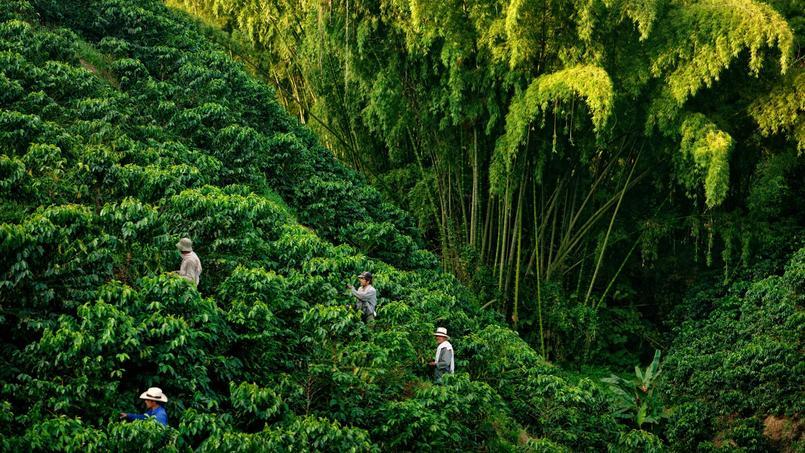 Des milliers d'hommes ont défriché des forêts de bambous pour planter des caféiers, dont ils récoltent manuellement les fruits.