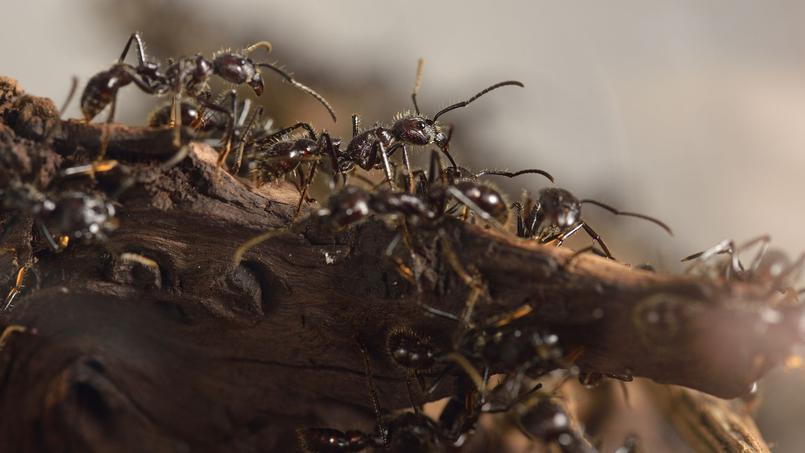 ard che un village envahi par des fourmis. Black Bedroom Furniture Sets. Home Design Ideas