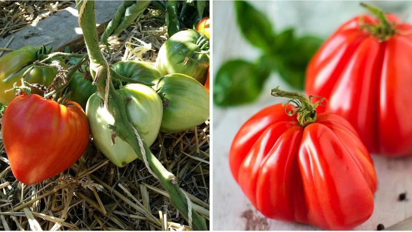 comment reconna tre la vraie tomate c ur de b uf. Black Bedroom Furniture Sets. Home Design Ideas