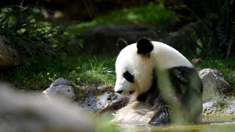 Cinq Raisons De Mepriser Les Pandas