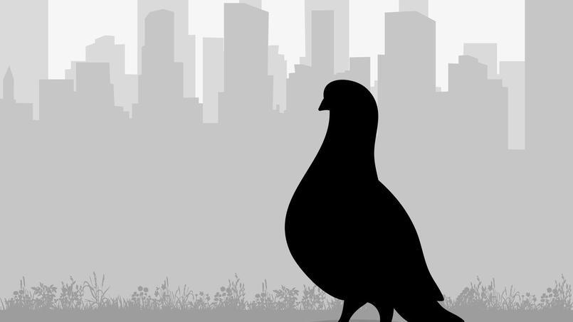 D Ou Vient L Expression Etre Un Pigeon