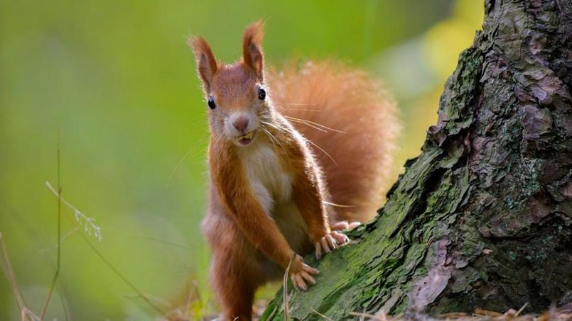 L'écureuil, symbole de l'équipe nationale du Bénin.