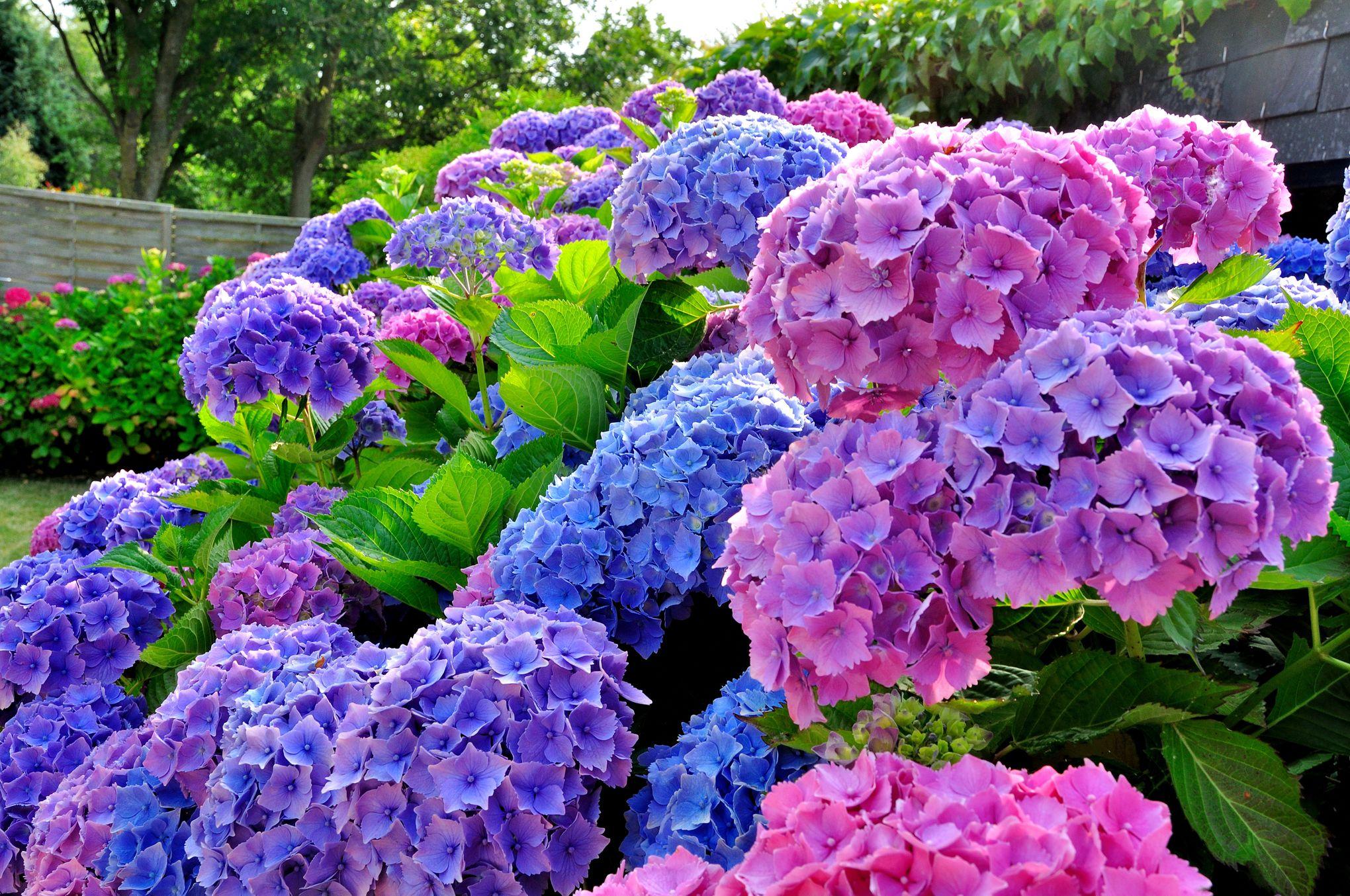 Fleur De Sous Bois Bleue hortensias: comment les faire bleuir à coup sûr