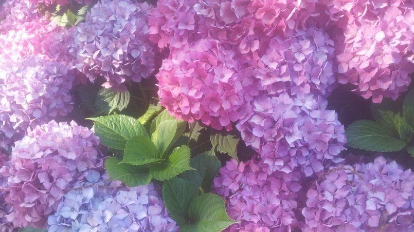hortensia: comment obtenir de belles fleurs mauves et bleues