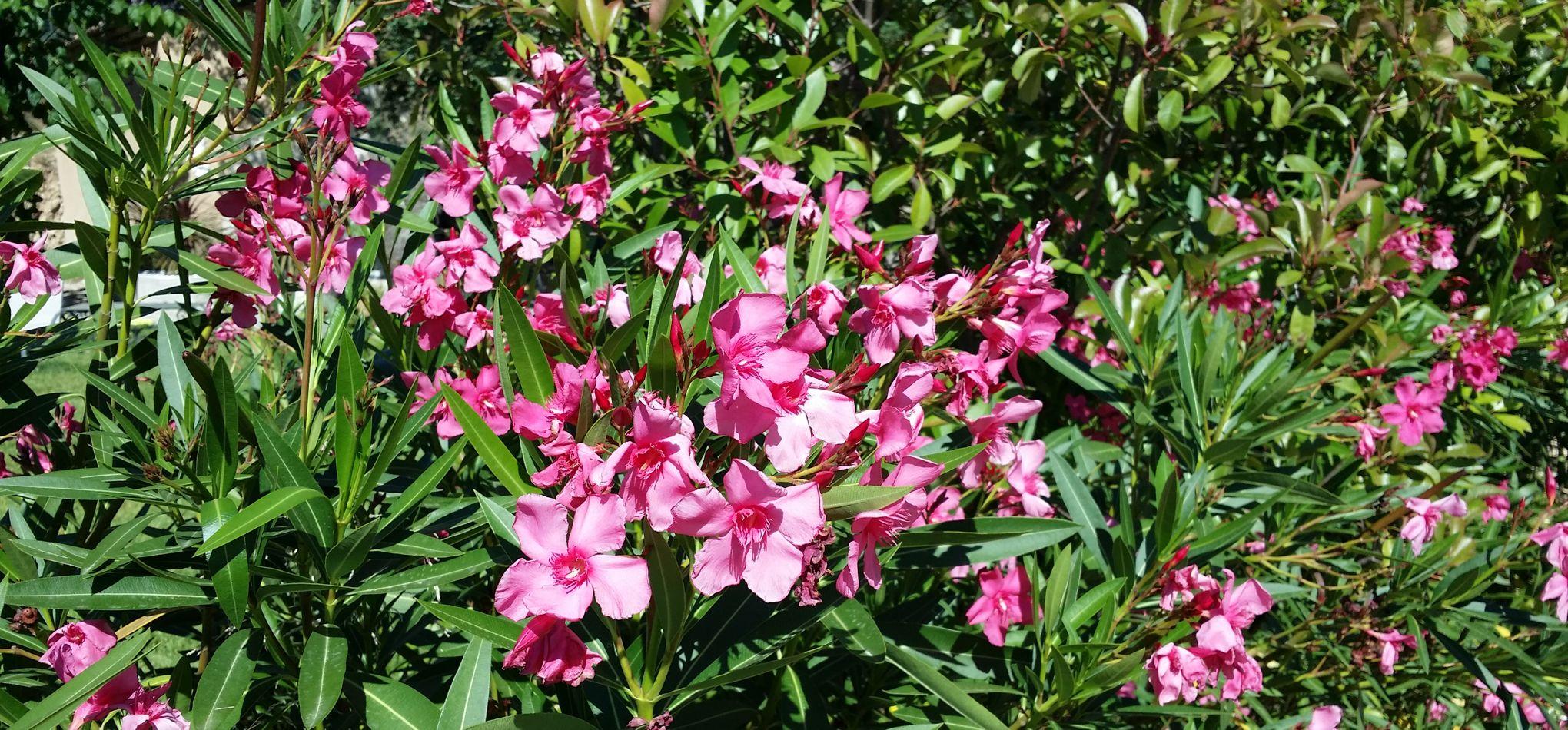 A Quelle Periode Tailler Les Lauriers laurier-rose, l'éclat de la méditerranée