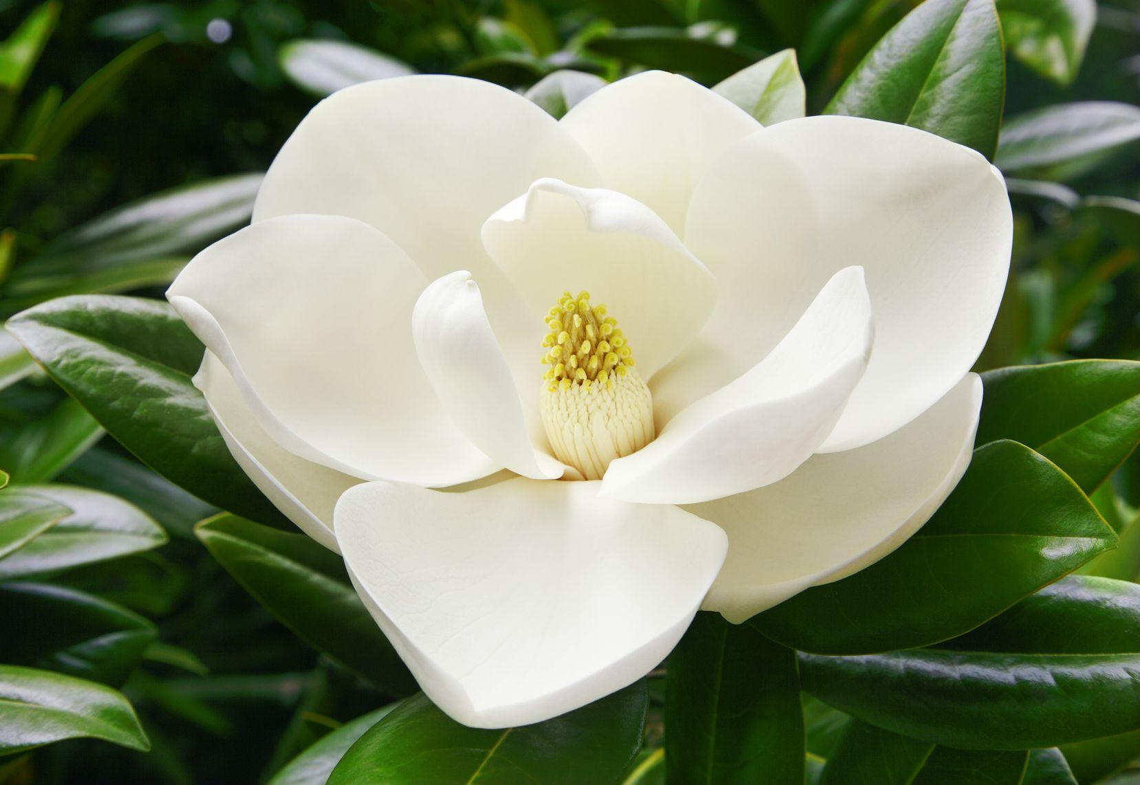 magnolia feuillage persistant. Black Bedroom Furniture Sets. Home Design Ideas