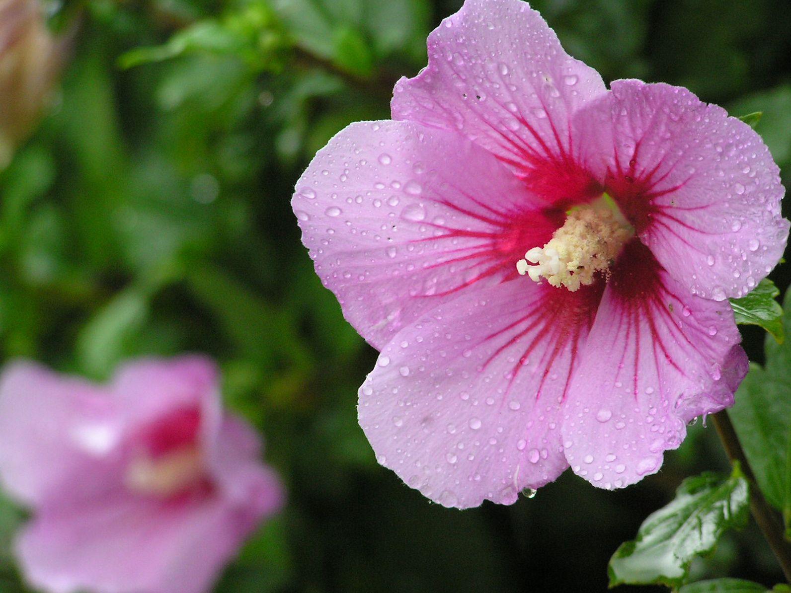 Althéa ou «guimauve en arbre», ravissant et peu exigeant