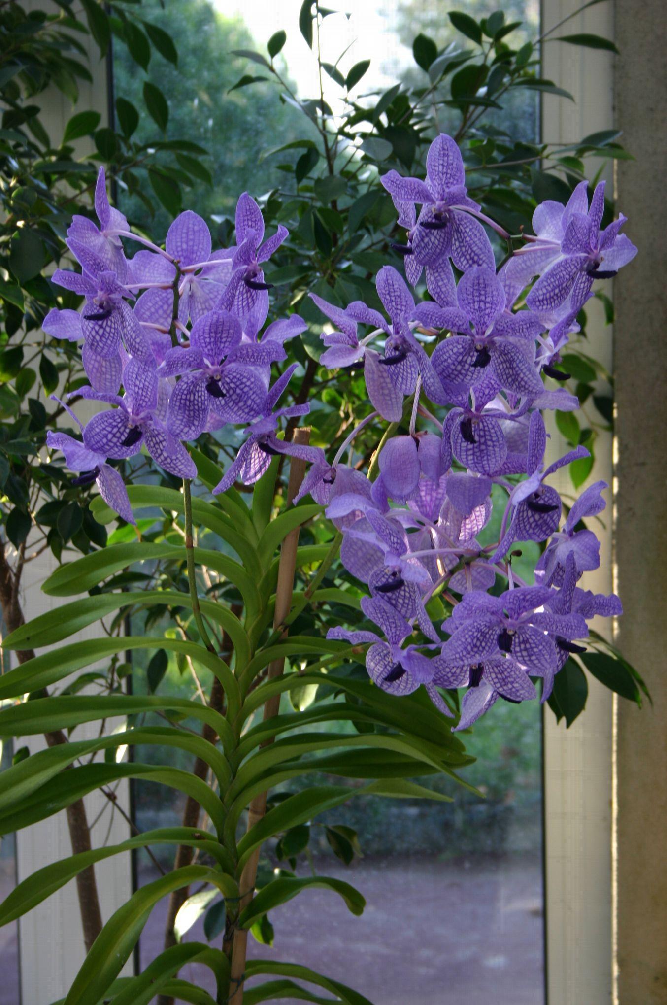 vandas orchid es g antes ou lilliputiennes. Black Bedroom Furniture Sets. Home Design Ideas