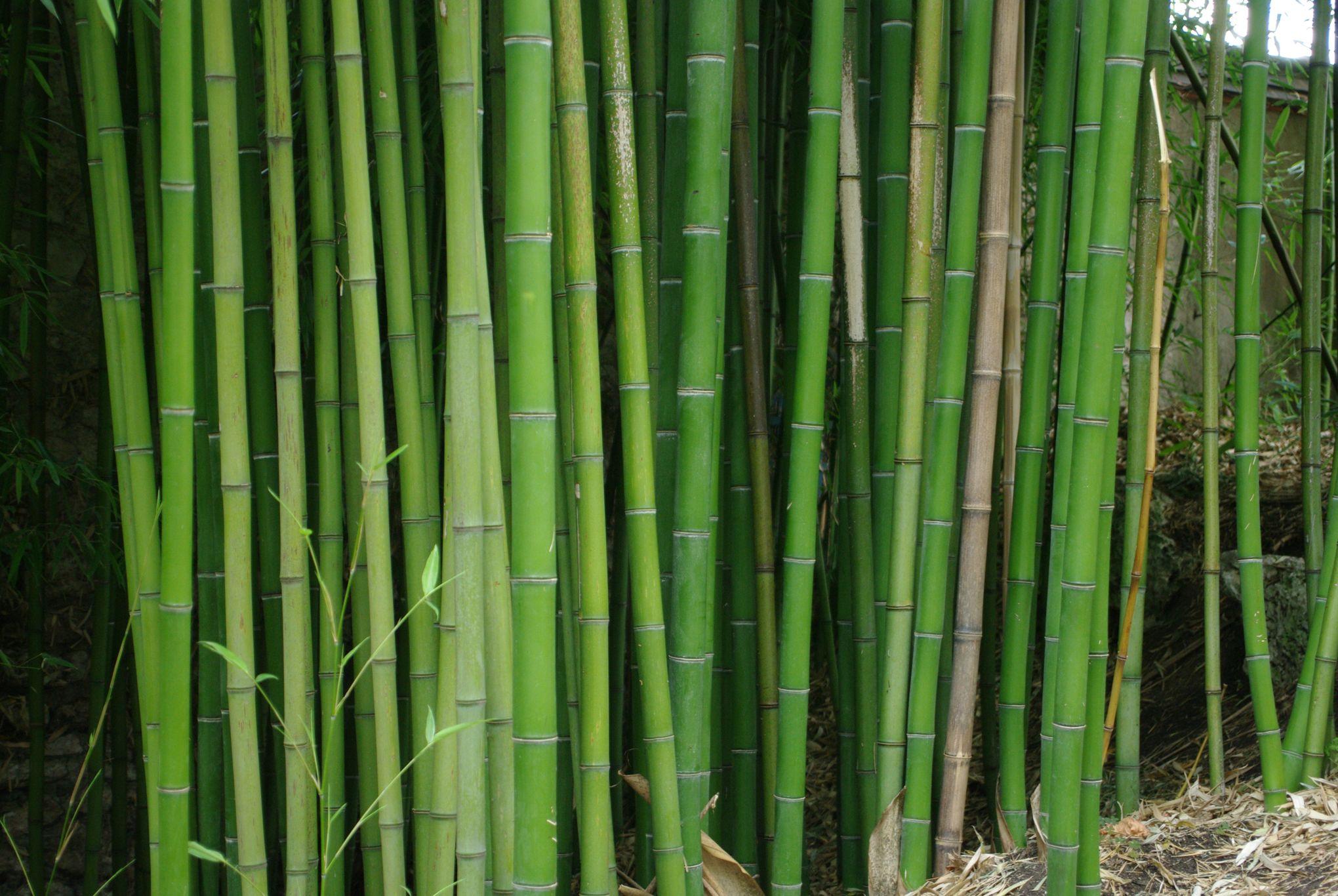 Comment Se Débarrasser Des Bambous Dans Le Jardin bambous traçants : comment les éradiquer ?