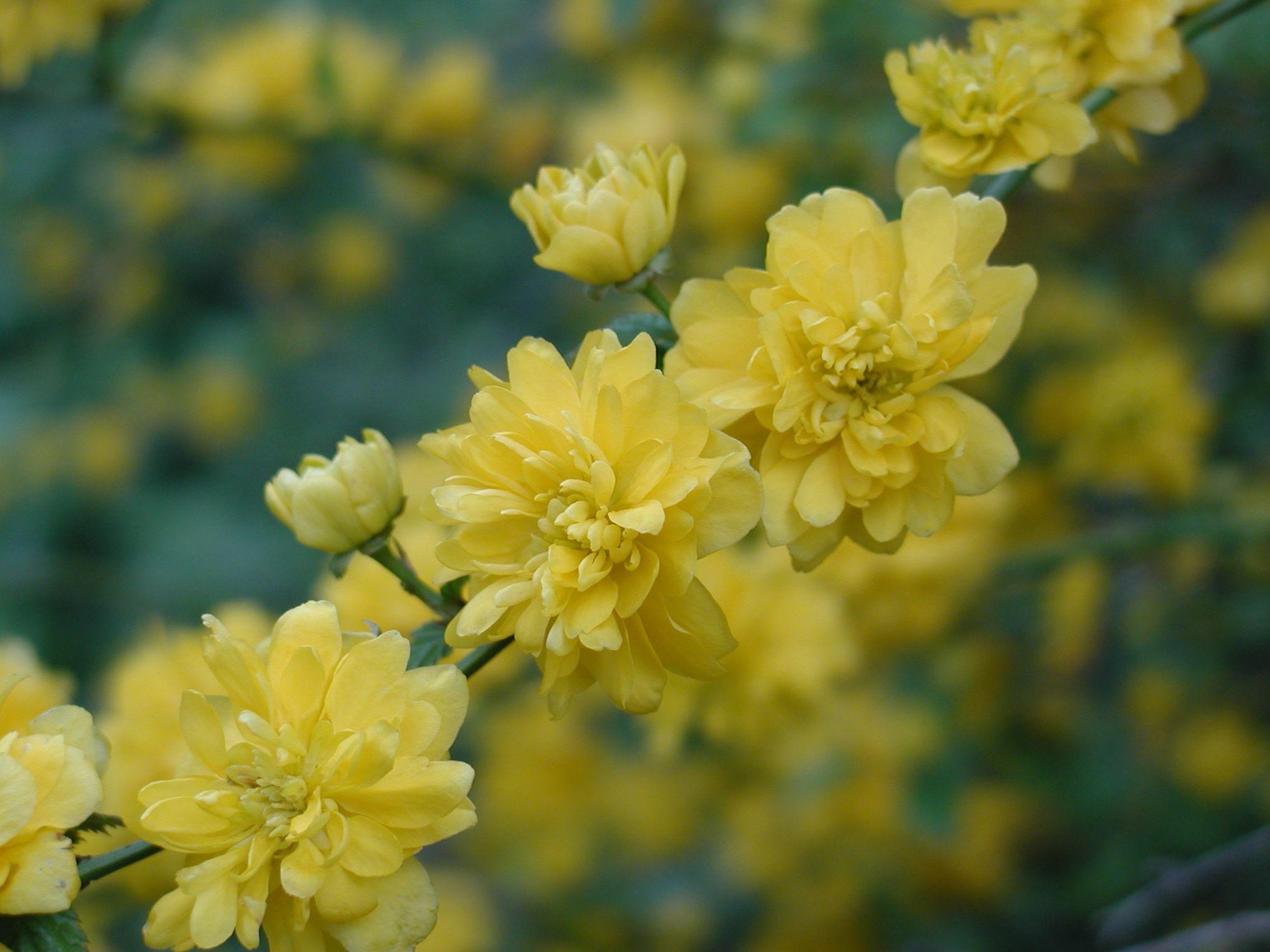 cor te du japon buisson aux fleurs jaune d 39 or. Black Bedroom Furniture Sets. Home Design Ideas