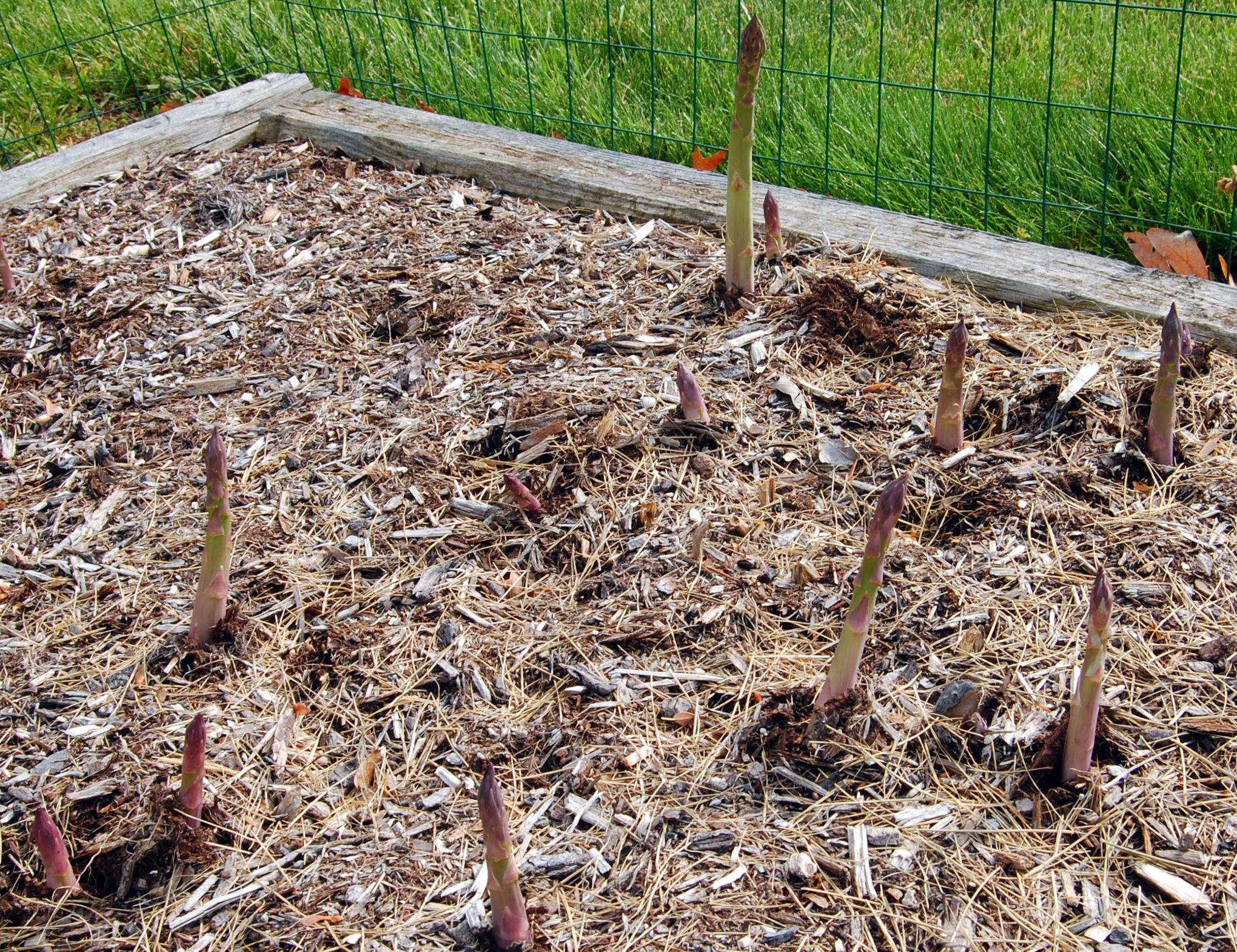 Comment Planter Des Asperges asperge, le légume des terres sableuses