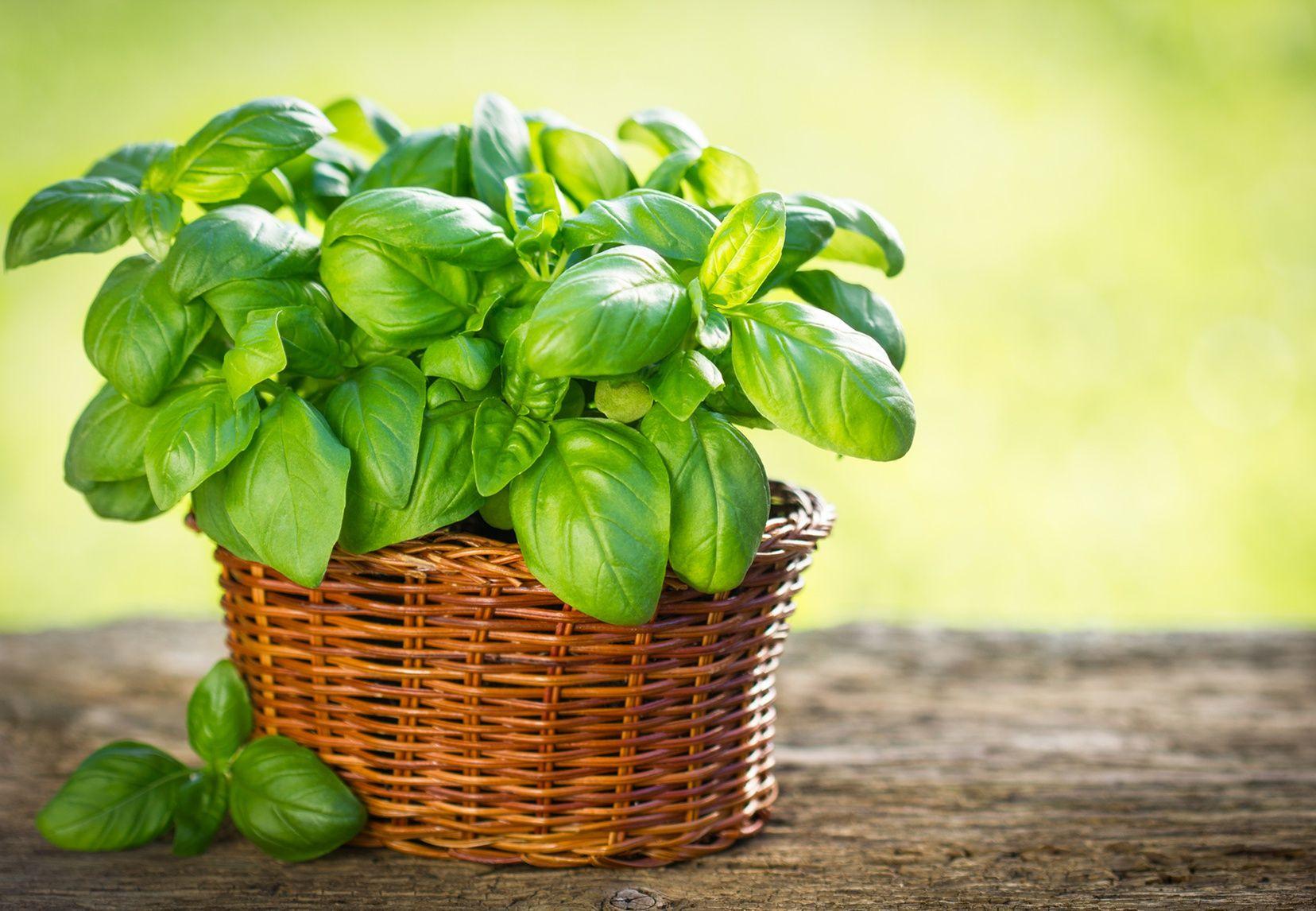 Comment Planter Du Basilic comment réussir la culture du basilic en pot?