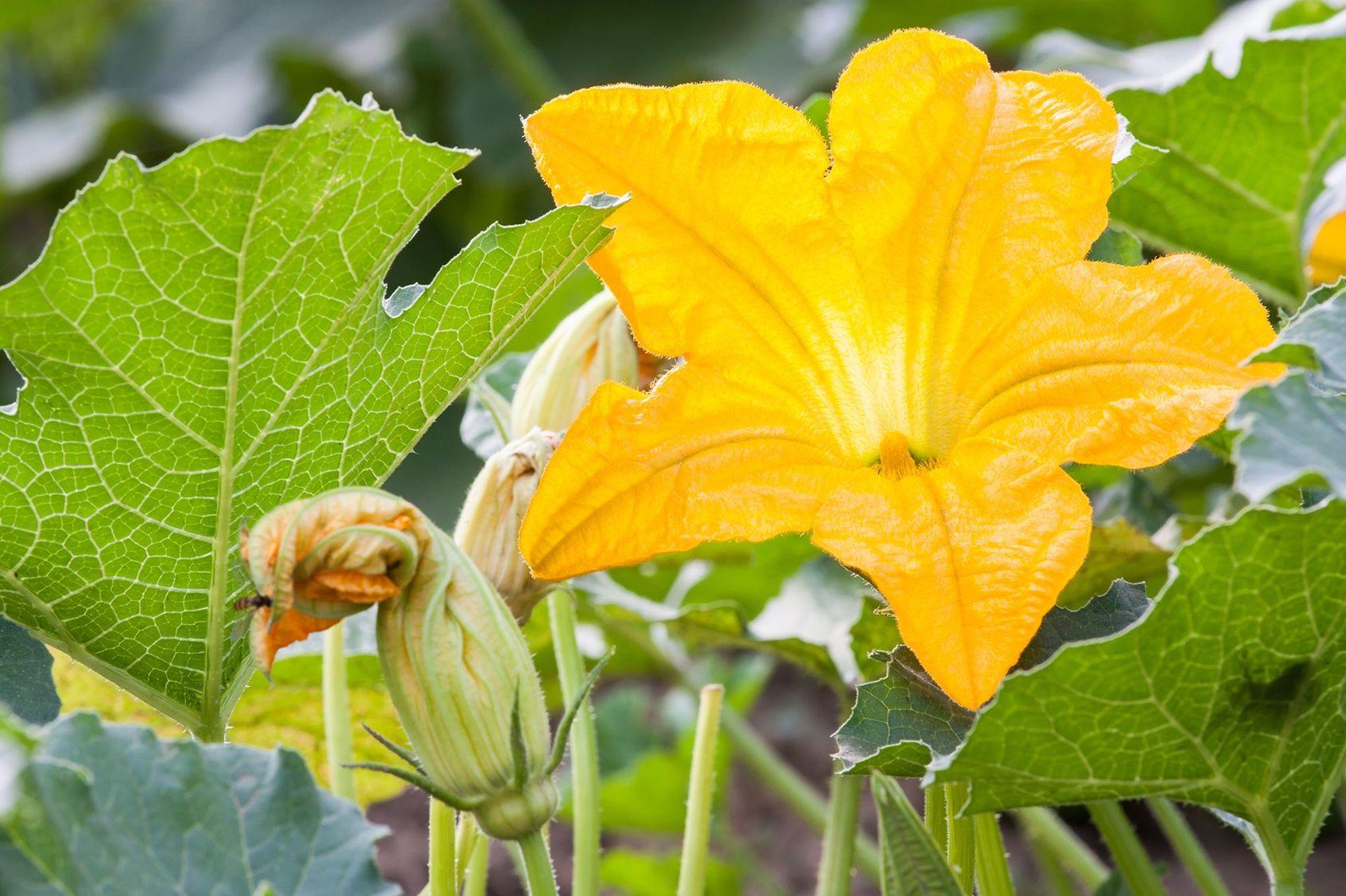 Faire Fuir Les Fourmis les fourmis nuisent-elles aux fleurs de courgette ?