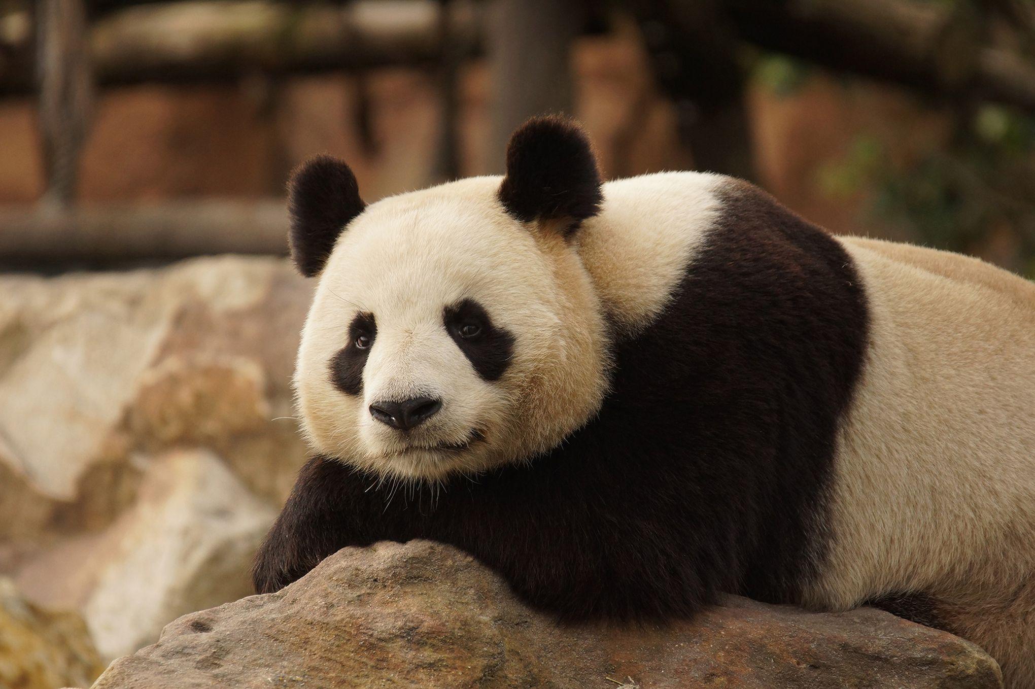 peut tre un b b panda au zoo de beauval dans quelques mois. Black Bedroom Furniture Sets. Home Design Ideas