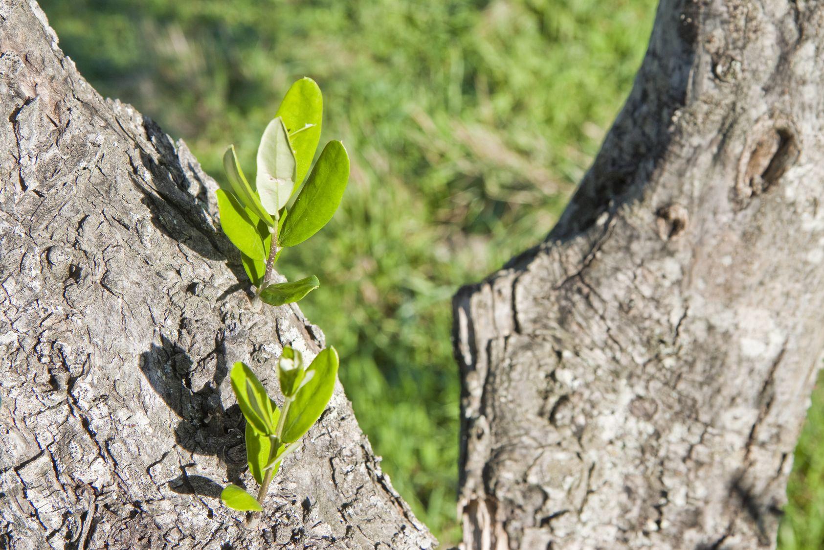 Il Cultive L Olivier olivier: faut-il ôter les branches à la base du tronc ?