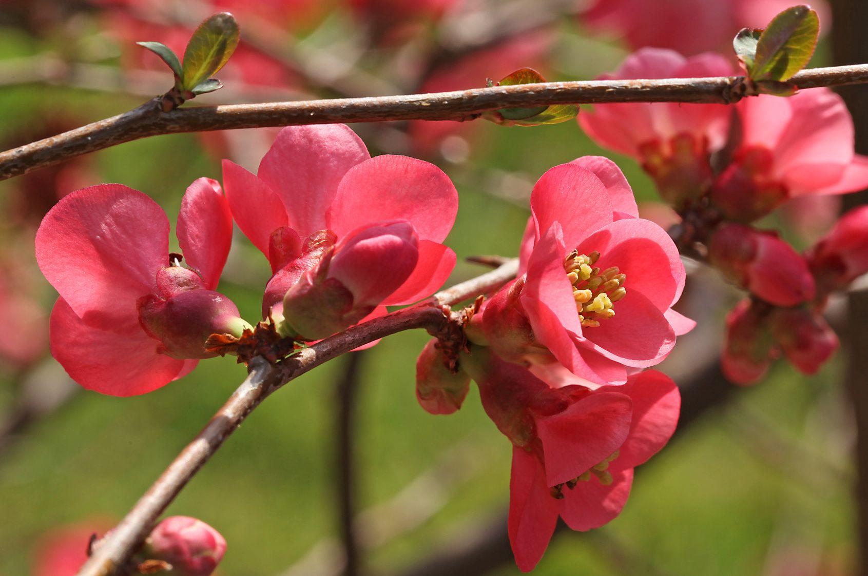 cognassier du japon l 39 arbuste du printemps. Black Bedroom Furniture Sets. Home Design Ideas