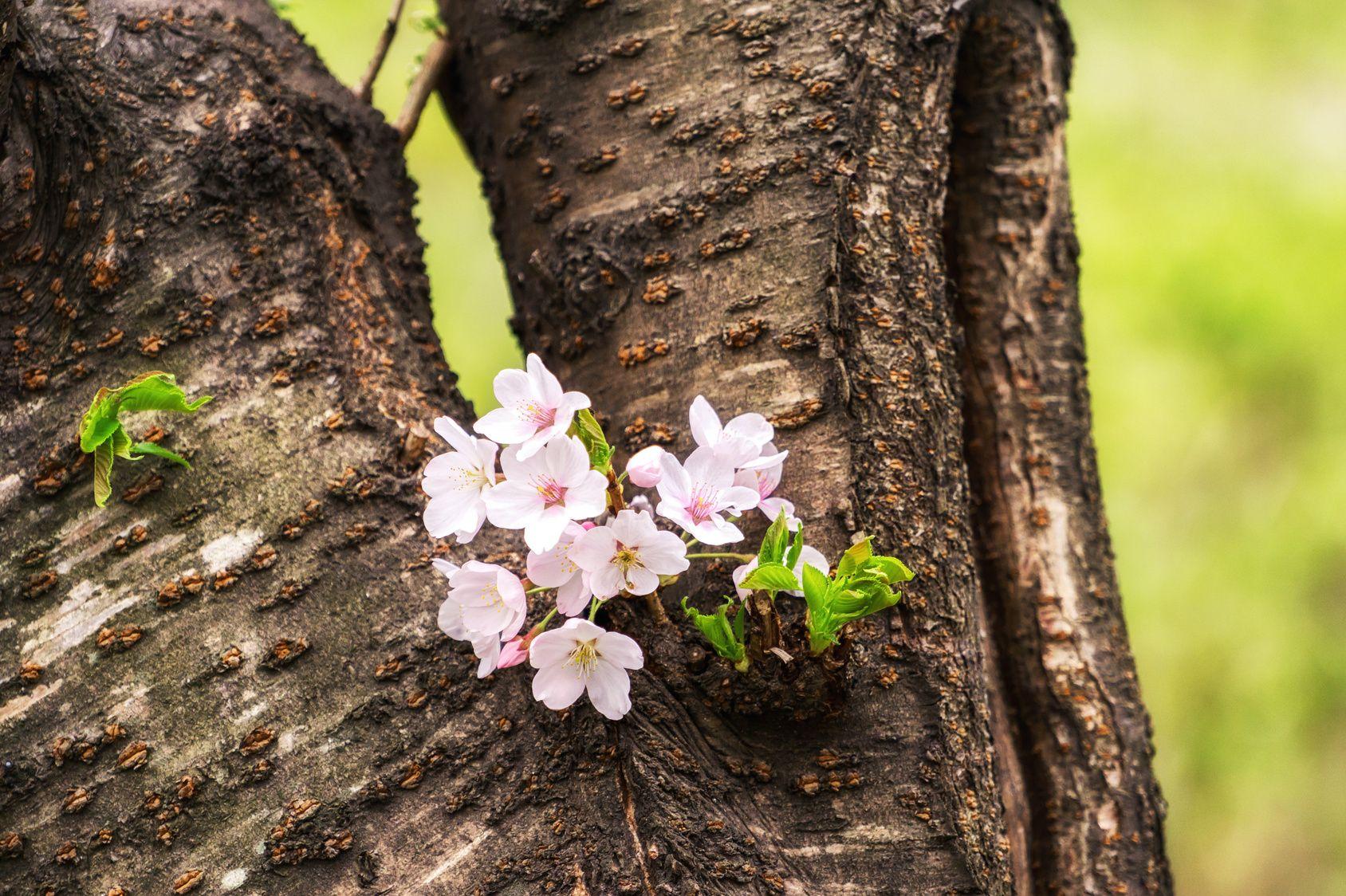 Hauteur Cerisier Du Japon mieux vaut-il tailler ou remplacer de vieux cerisiers du japon ?