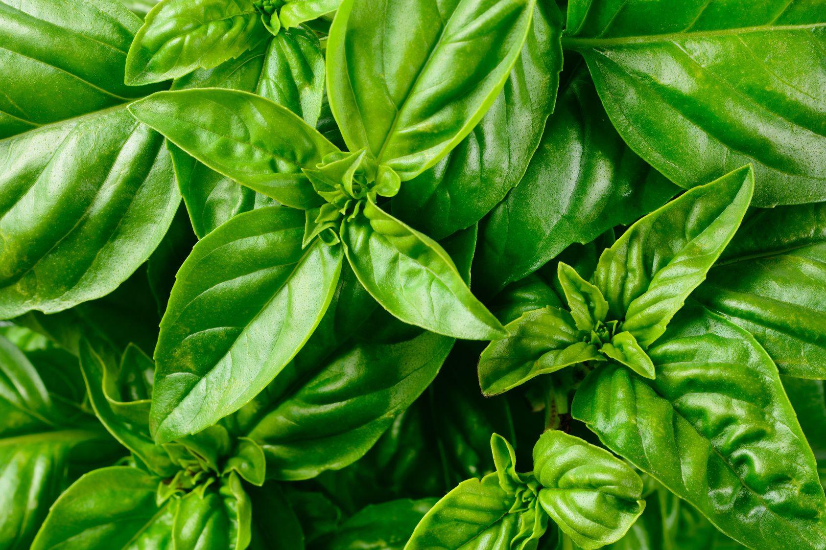 Comment Planter Le Basilic En Terre basilic, cultivez le plein de saveurs