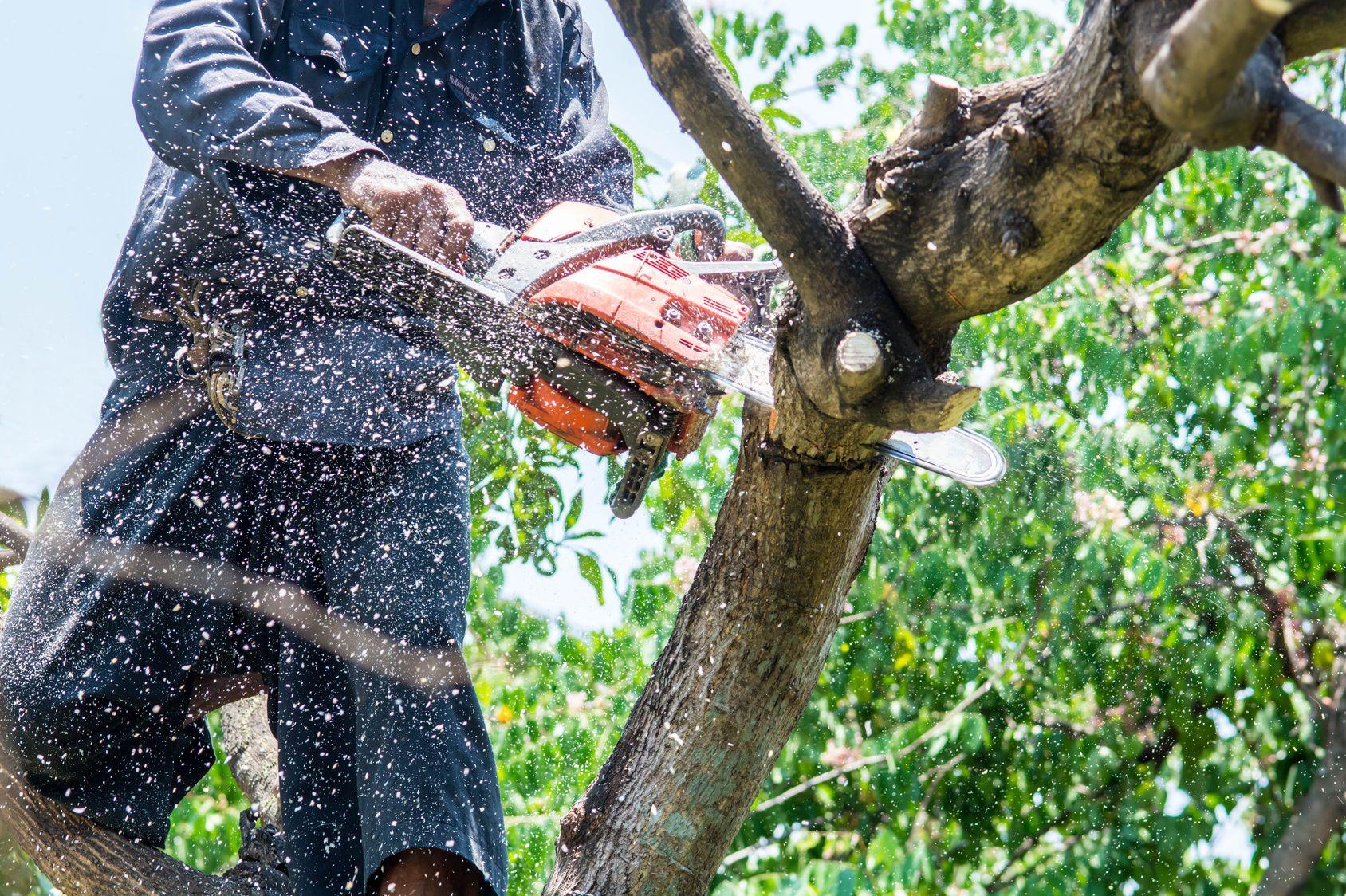 Hauteur Cerisier Du Japon cerisier: peut-on couper ses branches mortes sans le tuer ?