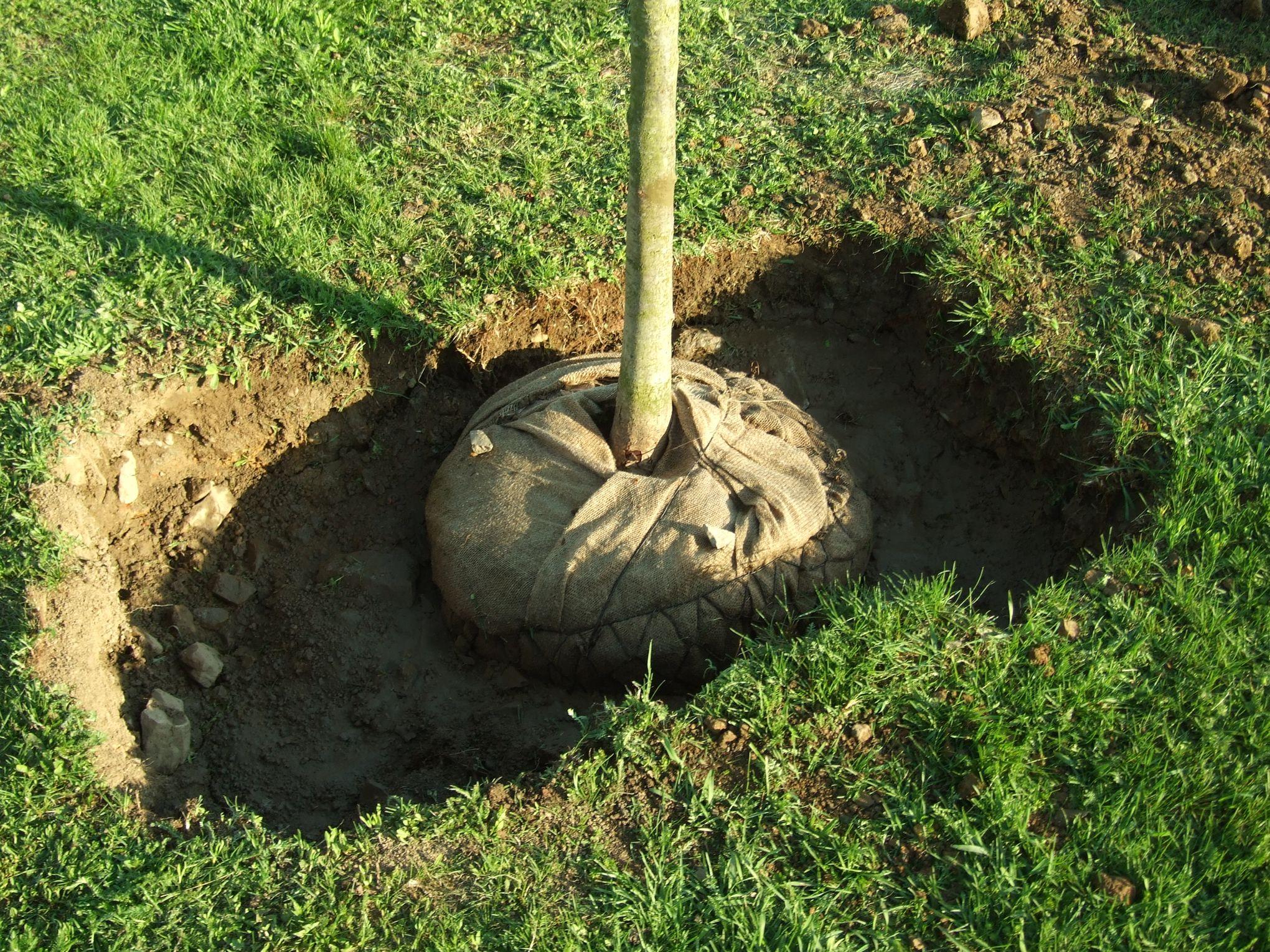 Comment Planter Un Arbre Fruitier quand et comment transplanter un arbre fruitier ?