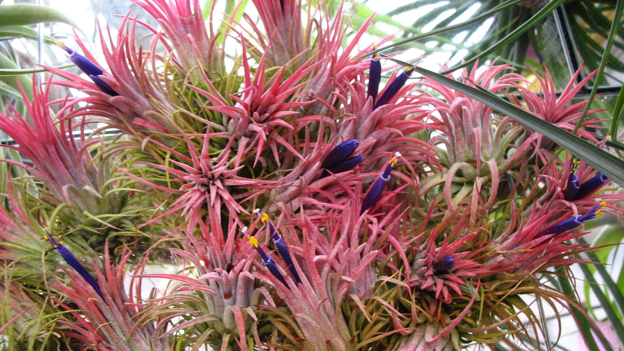 Les Filles De L Air Plante tillandsias: des «filles de l'air» cousines de l'ananas