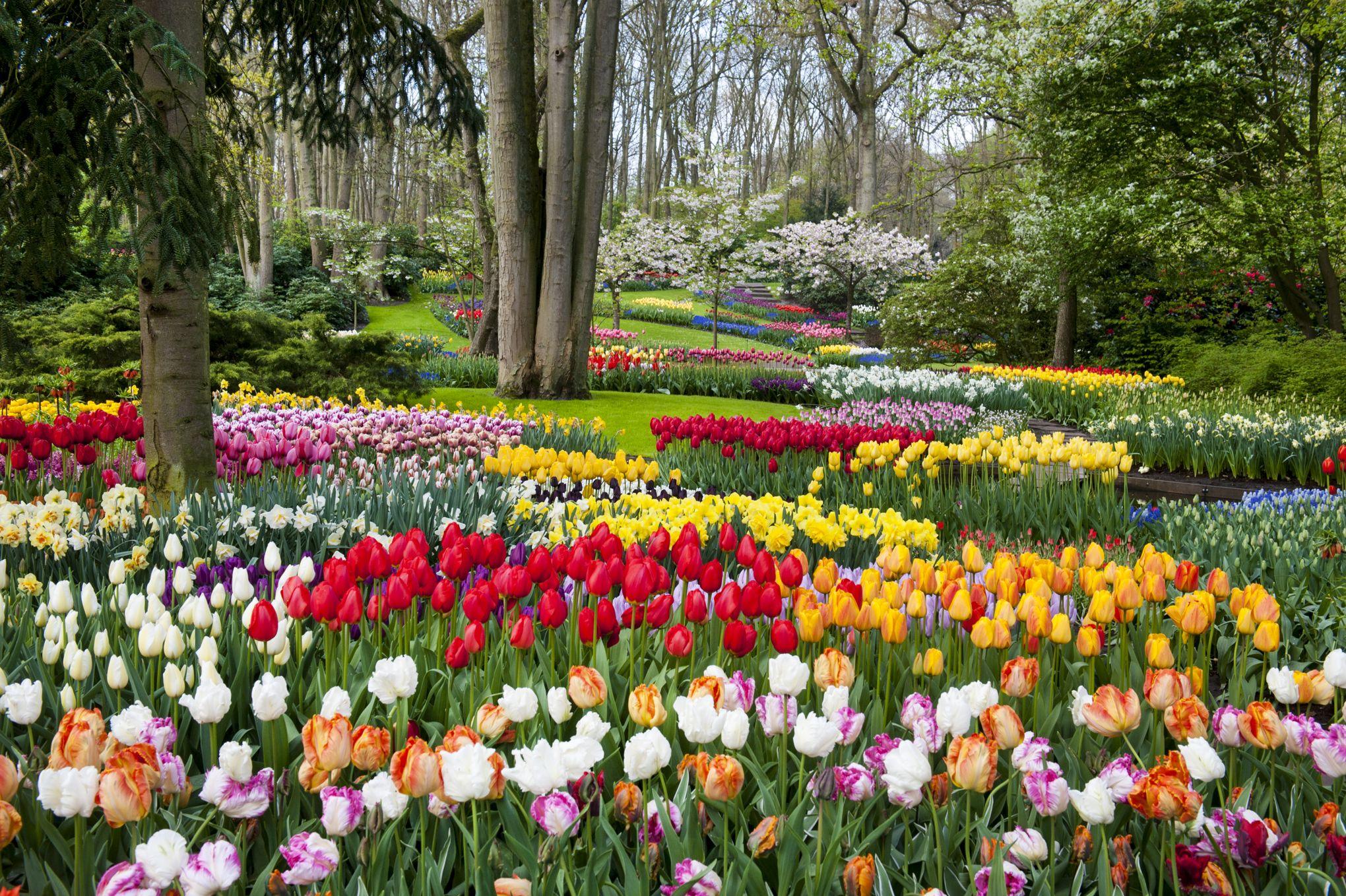tulipe hollande 2018