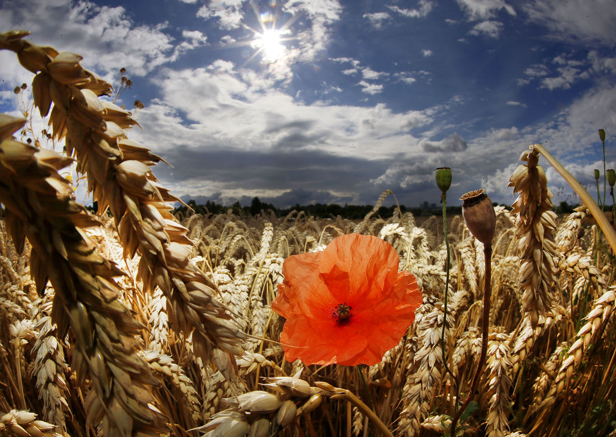 Coquelicot Fleur Du Sommeil Et De La Guerre