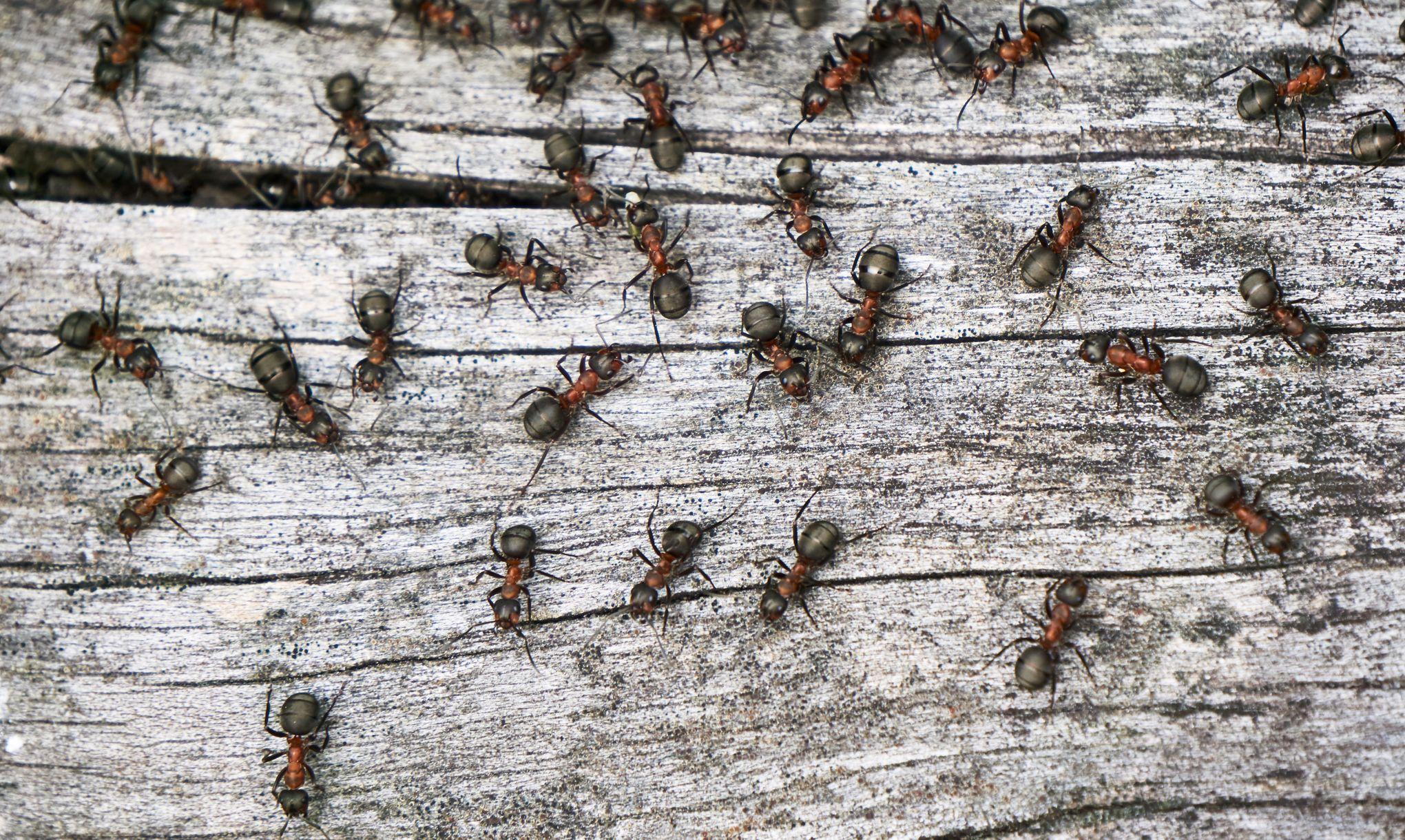 Grosses Fourmis Noires Dans Le Jardin les fourmis aussi ont des arrêts-maladie
