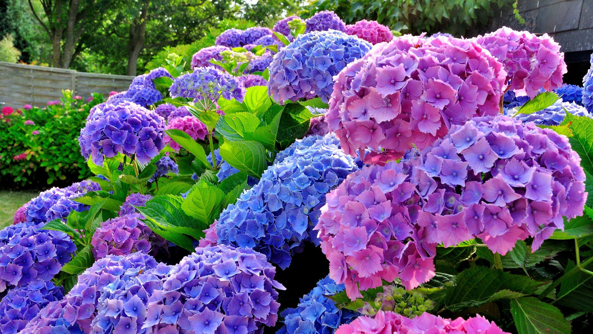 Arbuste Pour Terrain Calcaire jardin: de beaux arbustes pour les sols acides