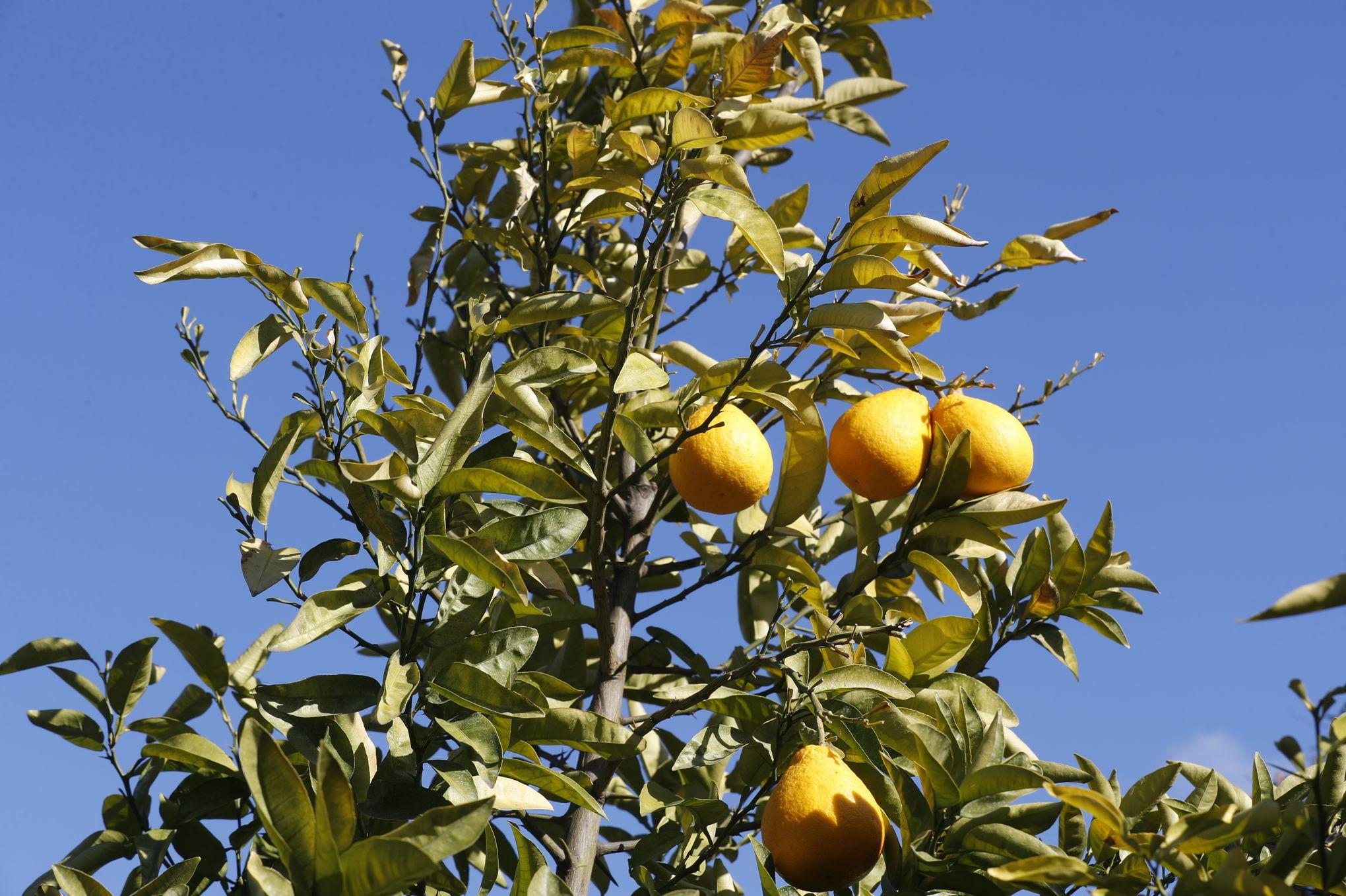 Comment Cultiver Un Citronnier En Pot À la découverte des «agrumes de l'extrême»