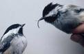 En Alaska, de plus en plus d'oiseaux ont le bec déformé