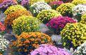 Le chrysanthème s'épanouit à la Toussaint