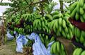 Un nouveau géant mondial de la banane