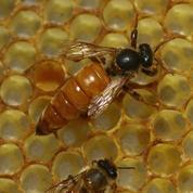 La production de miel atteint son plus bas niveau historique