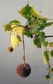 Les aiguilles des fruits du platane (en médaillon), entourées d'un duvet qui facilite la dissémination par le vent, sont groupées en boules. DR