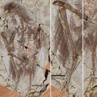 Un des fossiles mis au jour par l'équipe de Xing Xu.