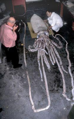 Analyse d'un calmar géant capturé en Australie.